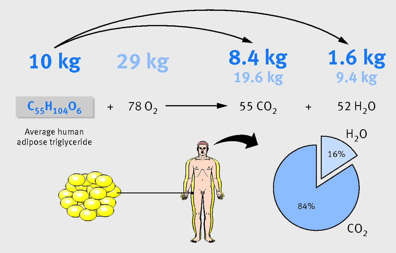Fig 2 When somebody loses 10 kg of fat (triglyceride), 8.4 kg is exhaled as CO2. The remainder of the 28 kg total of CO2 produced is contributed by inhaled oxygen.